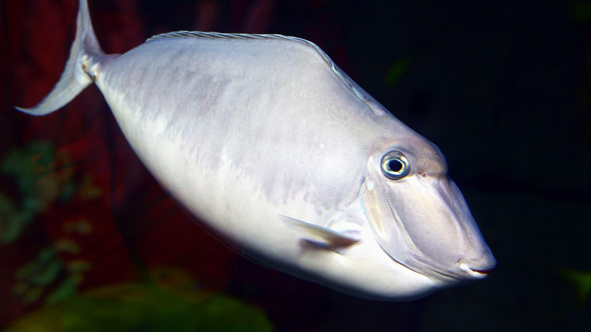 Einhorn-Doktorfisch