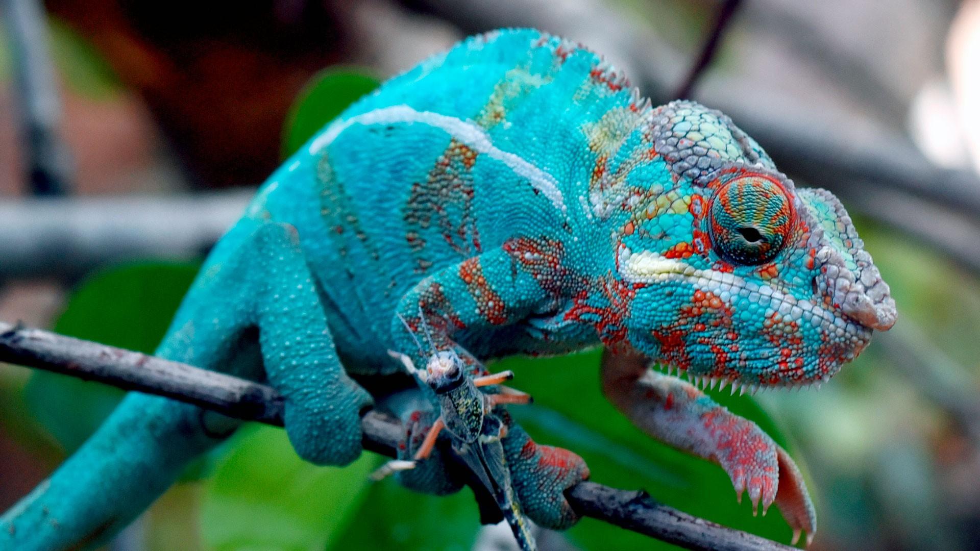 Sudan plated lizard