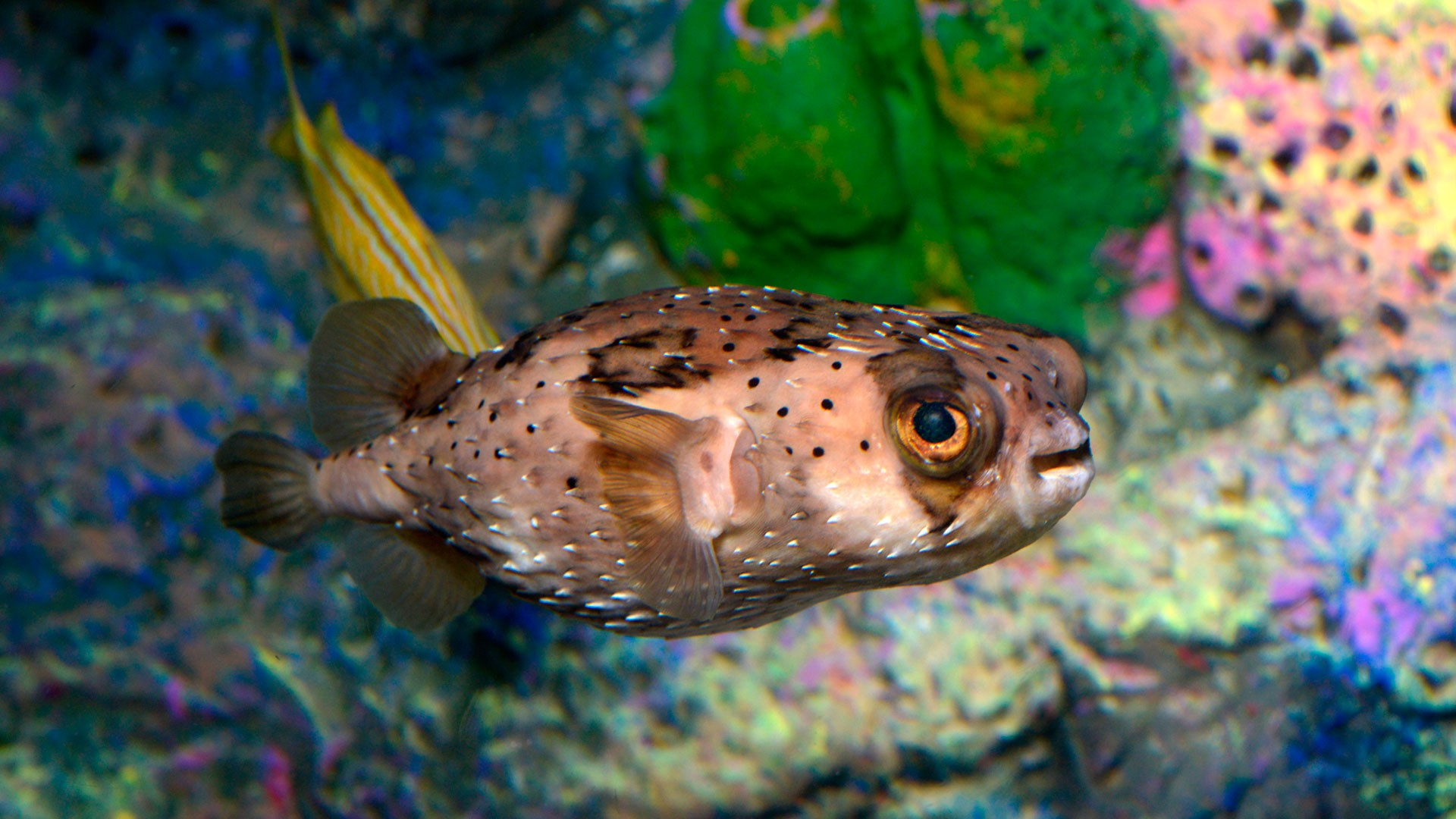 Freckled Porcupinefish