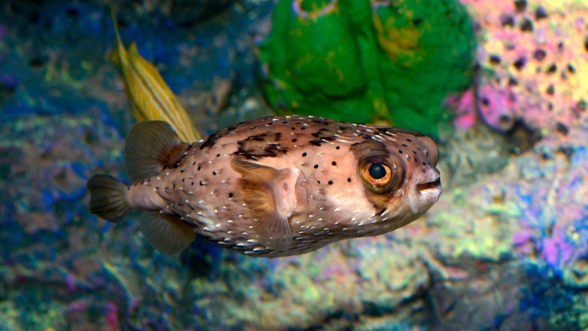 Freckled Porcupinefish