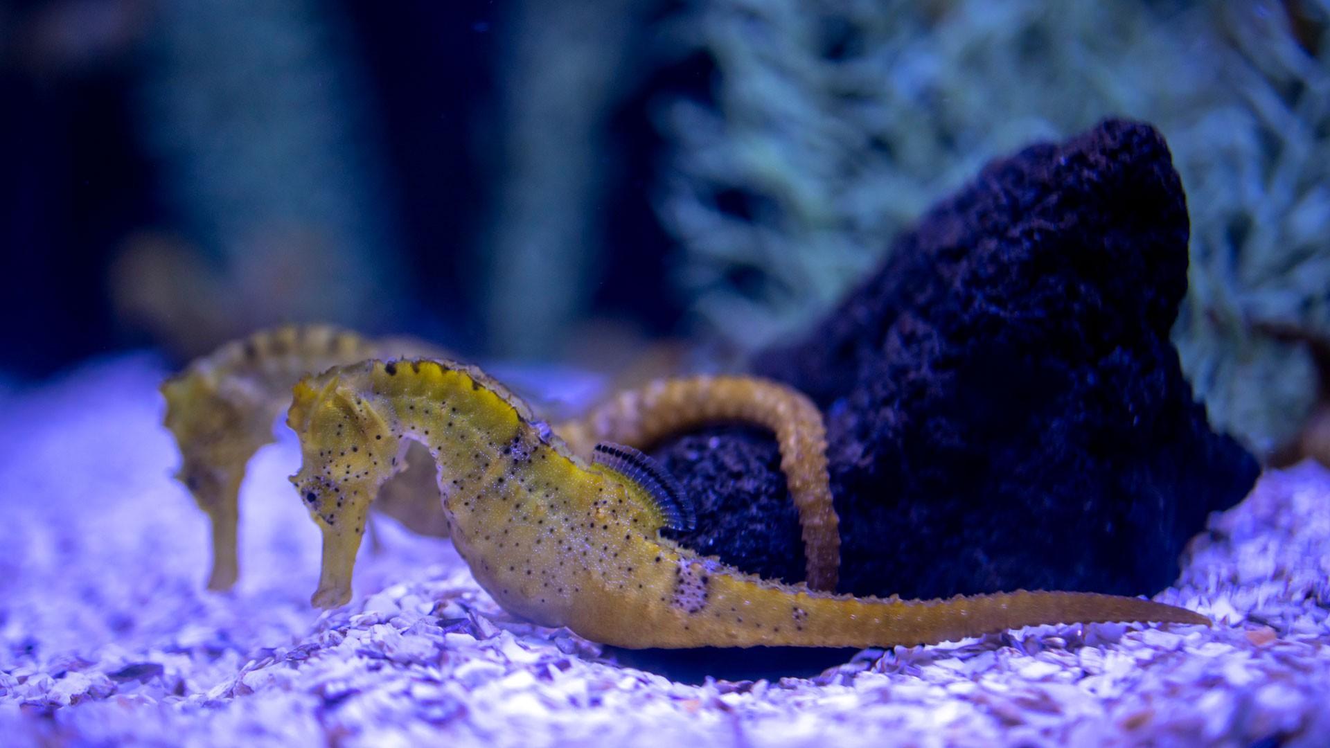Longsnout seahorse