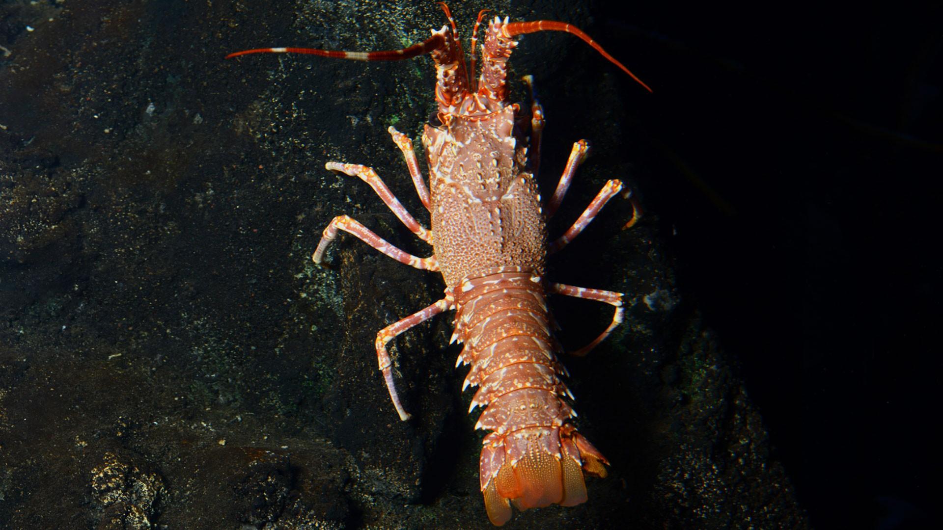 Pink Spiny Lobster