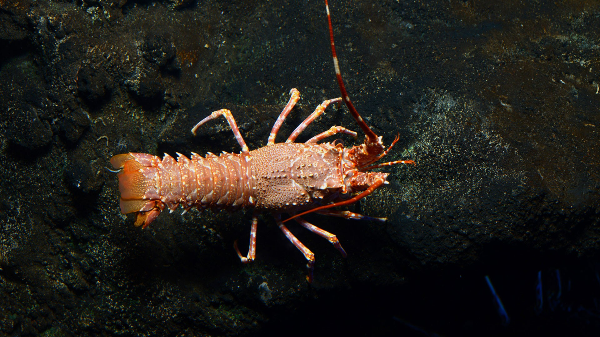 Pink Spiny Lobster