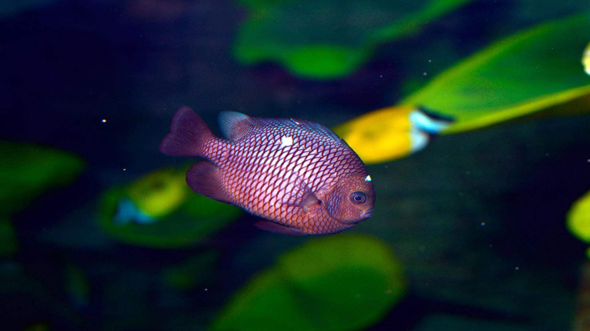 Dreifleck-Preußenfisch