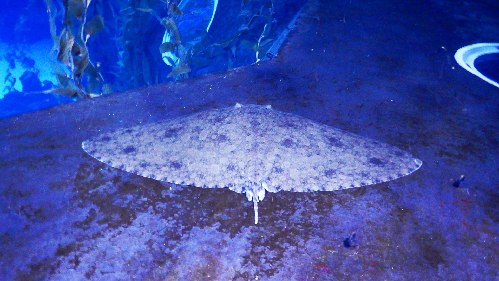 Spiny butterfly ray