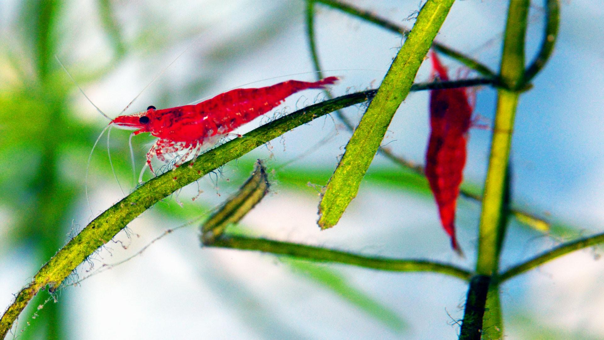 Cherry Shrimp