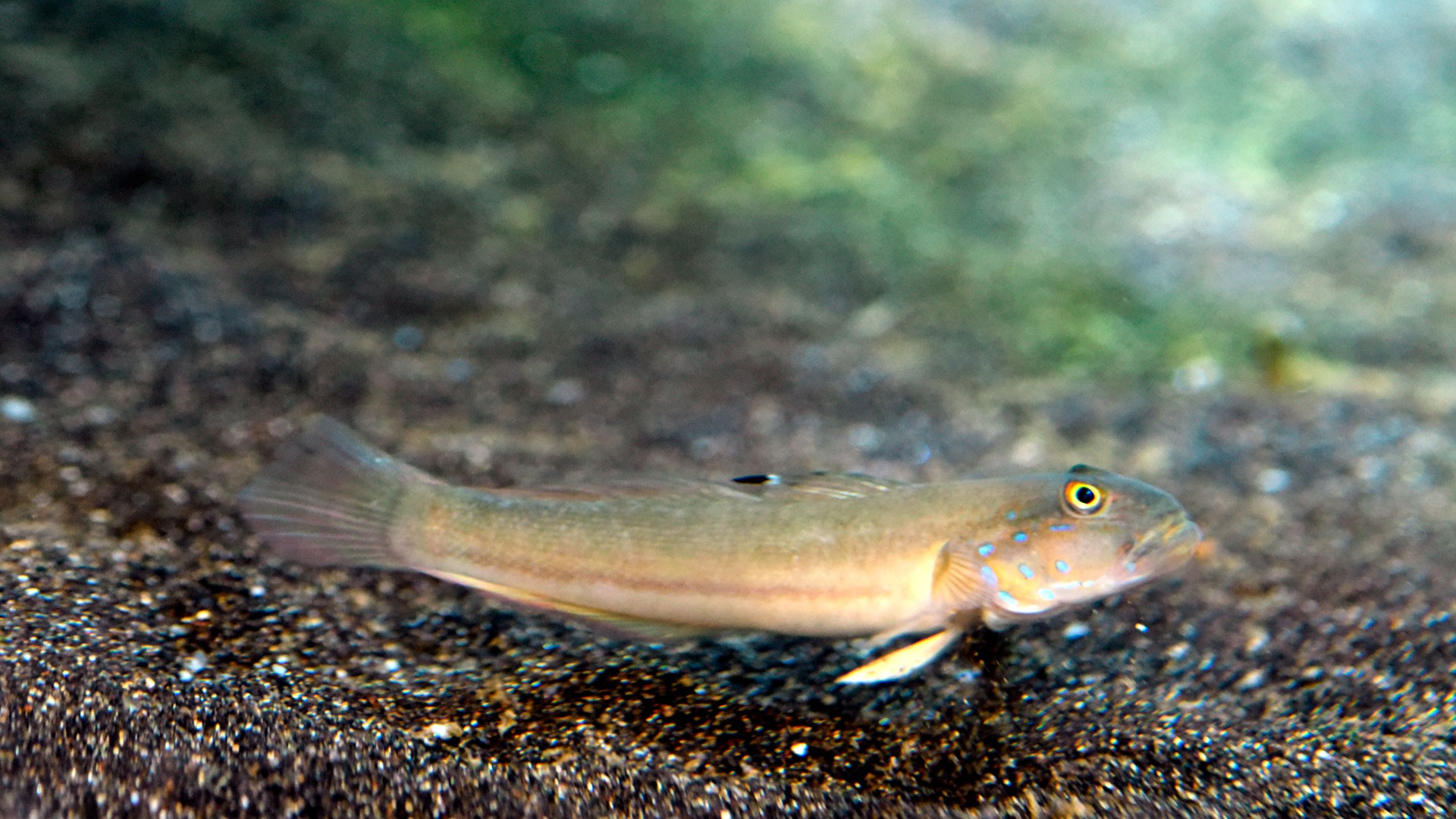 Sleeper Blue Dot Goby