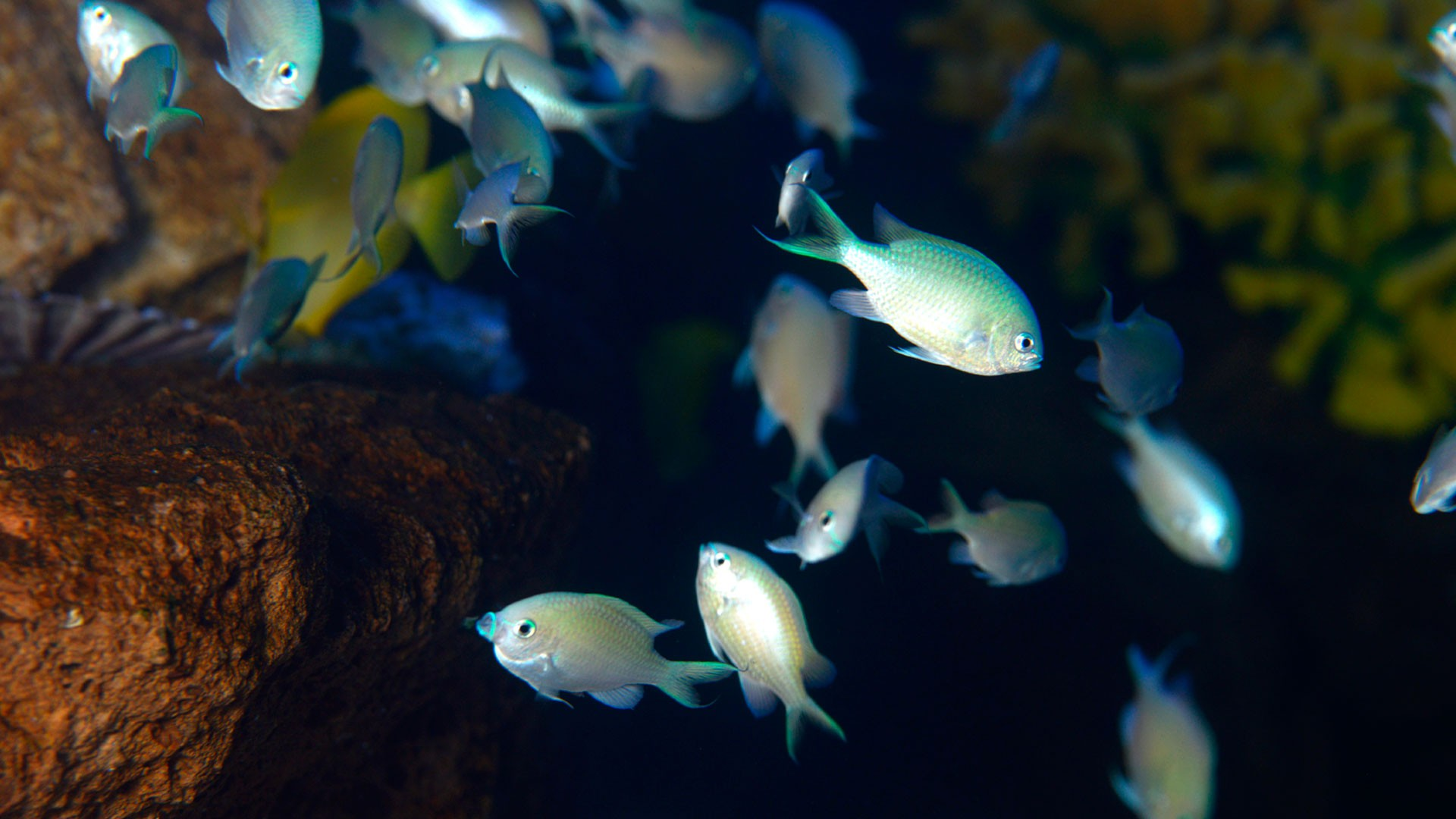 Green Damselfish
