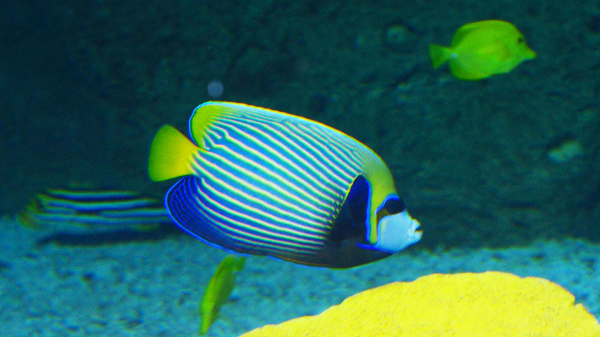 Imperator-Kaiserfisch