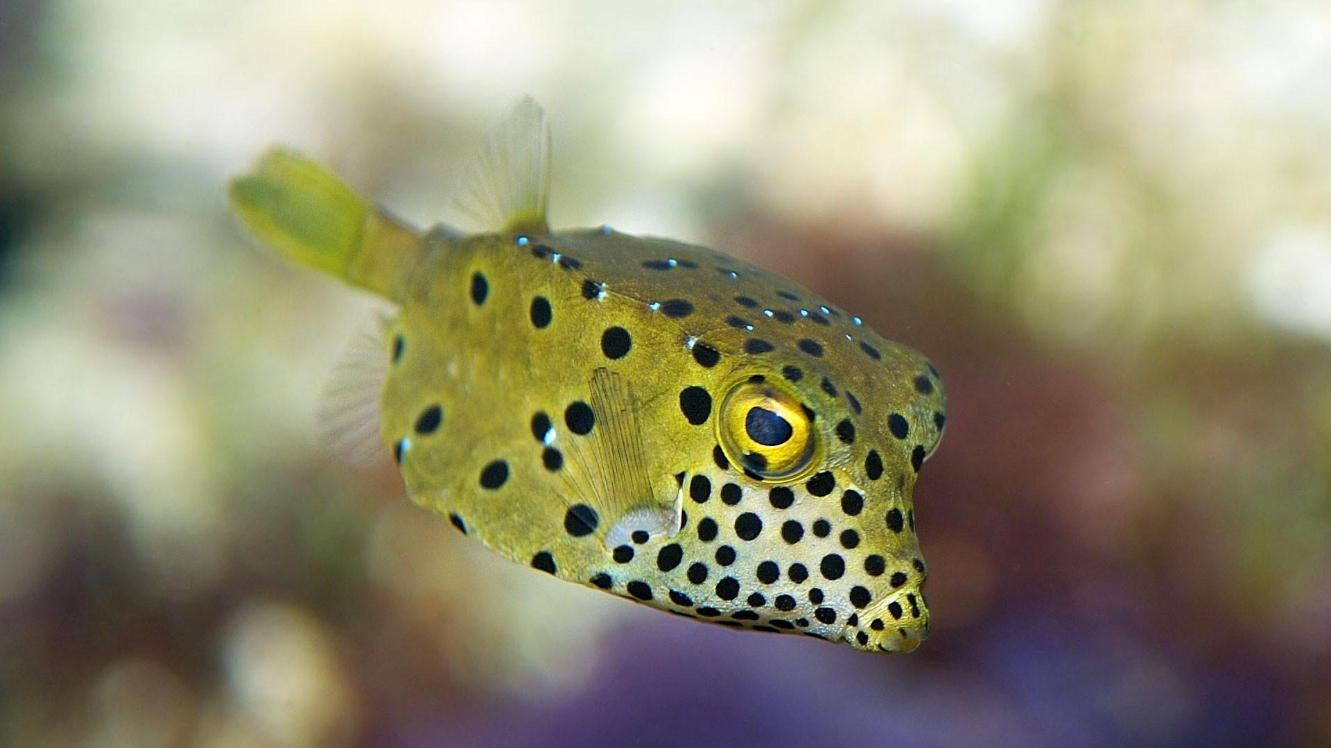 Smooth trunkfish