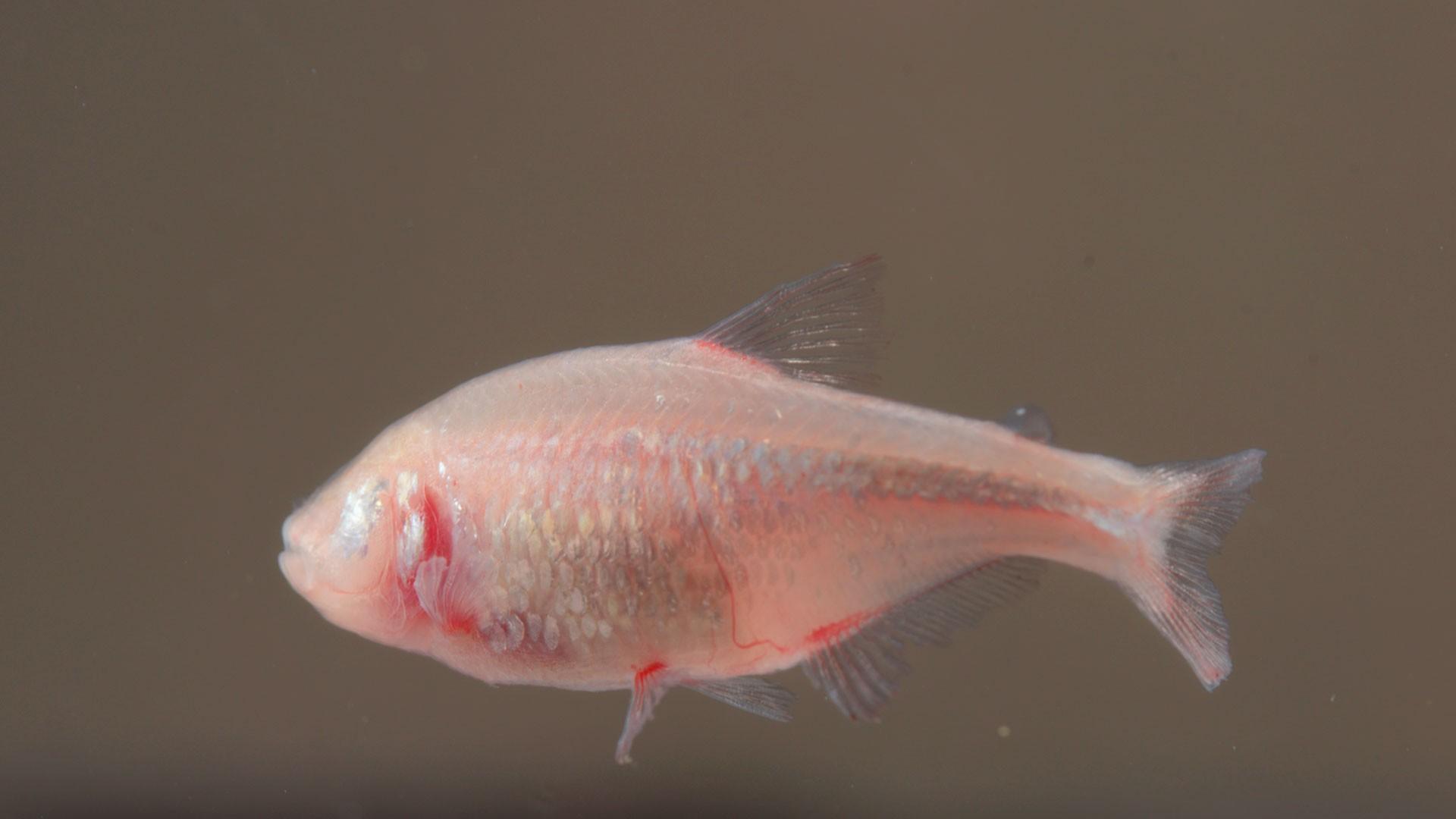 Blind fish