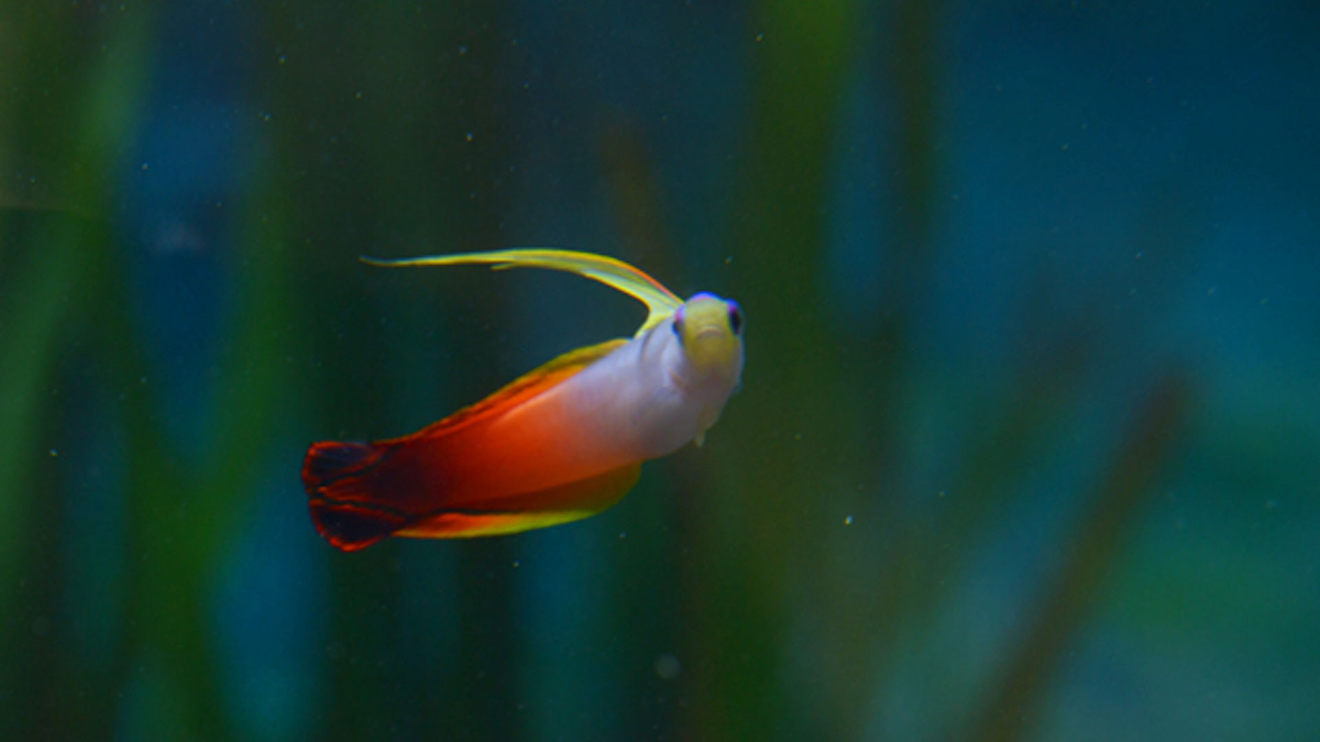 Fire goby