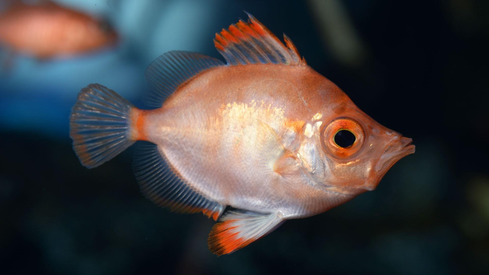 Eberfische