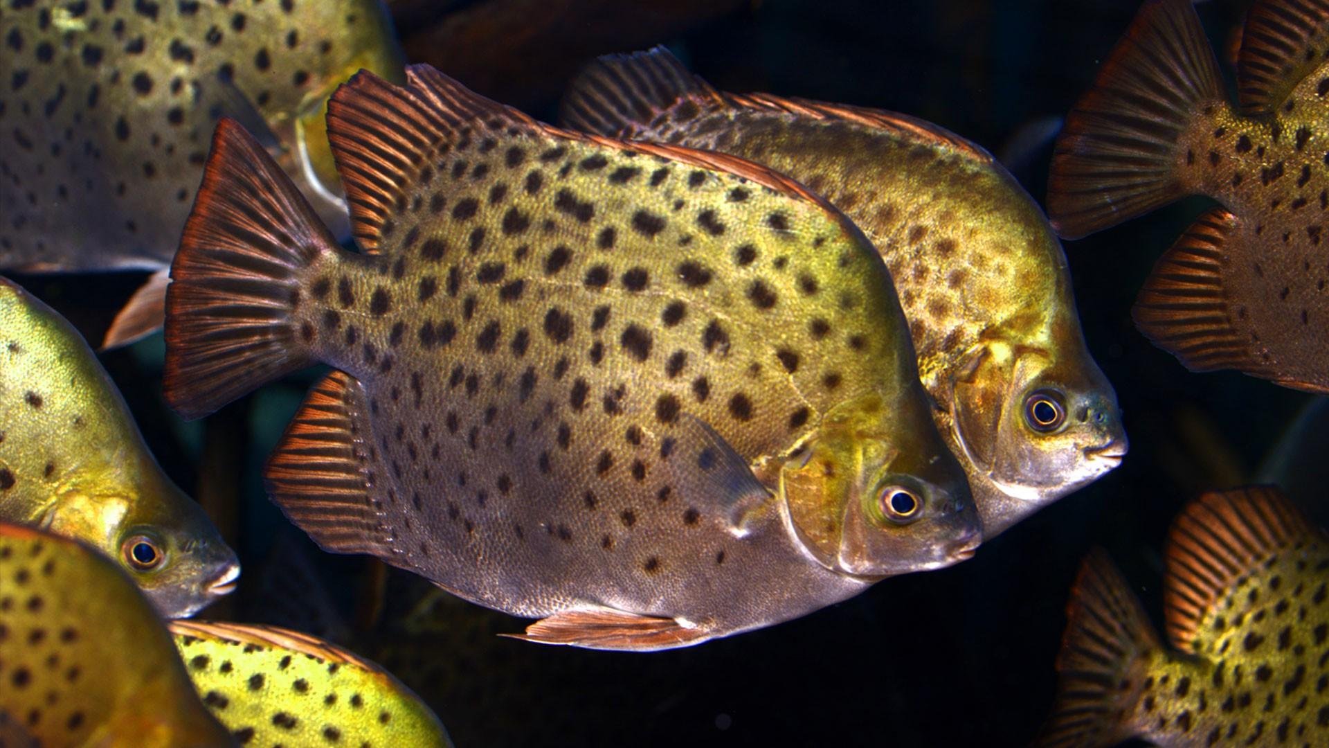 Scat-Fische