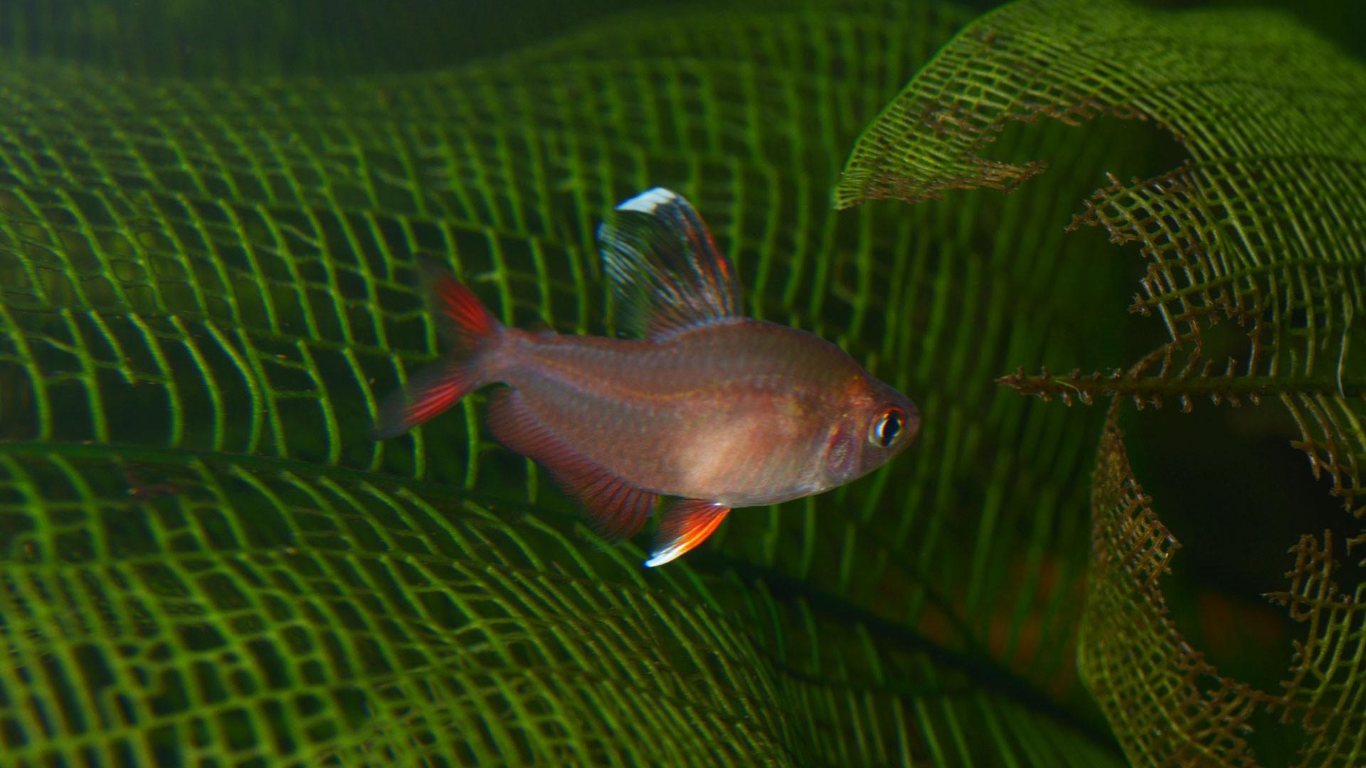 Moonrise Pink GloFish Tetra