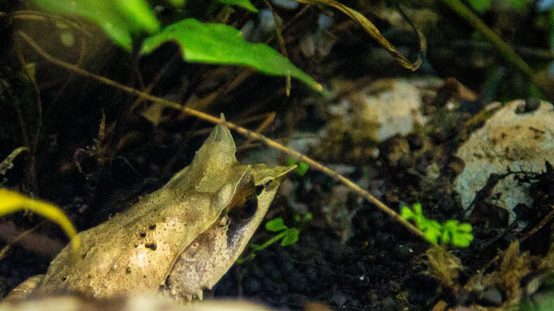 Malaysian Horned Frog