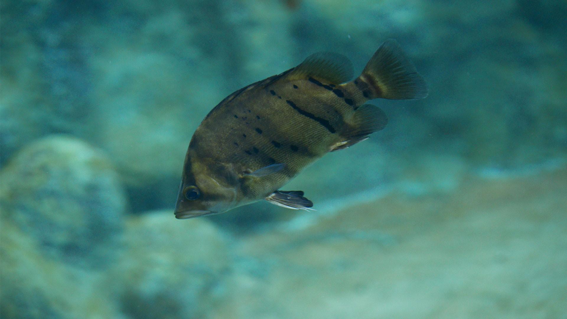 Pez Tigre Siamés