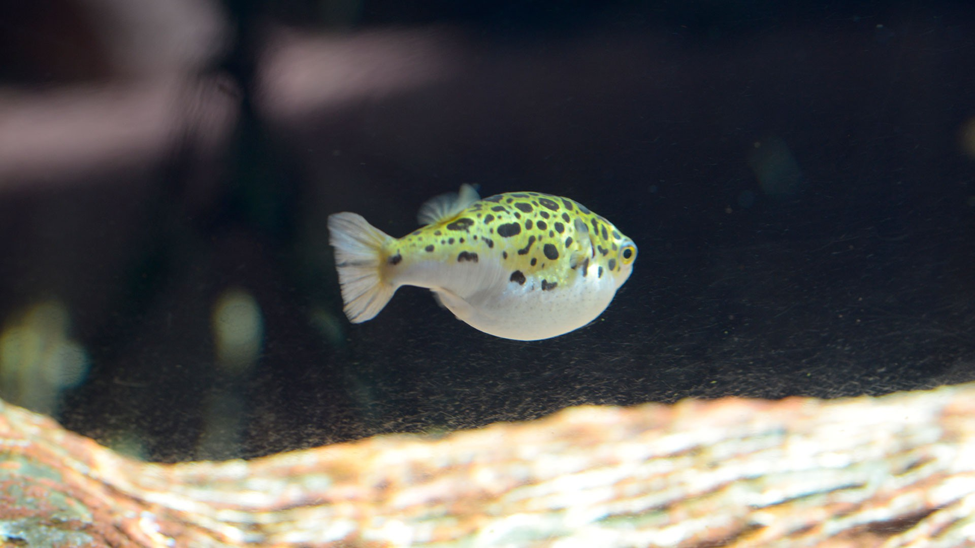 Green Spotted Puffer