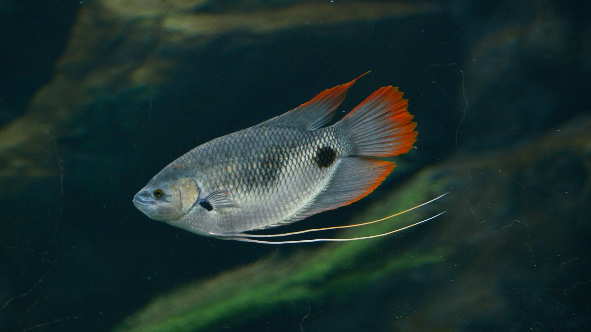 Red-tailed Gourami