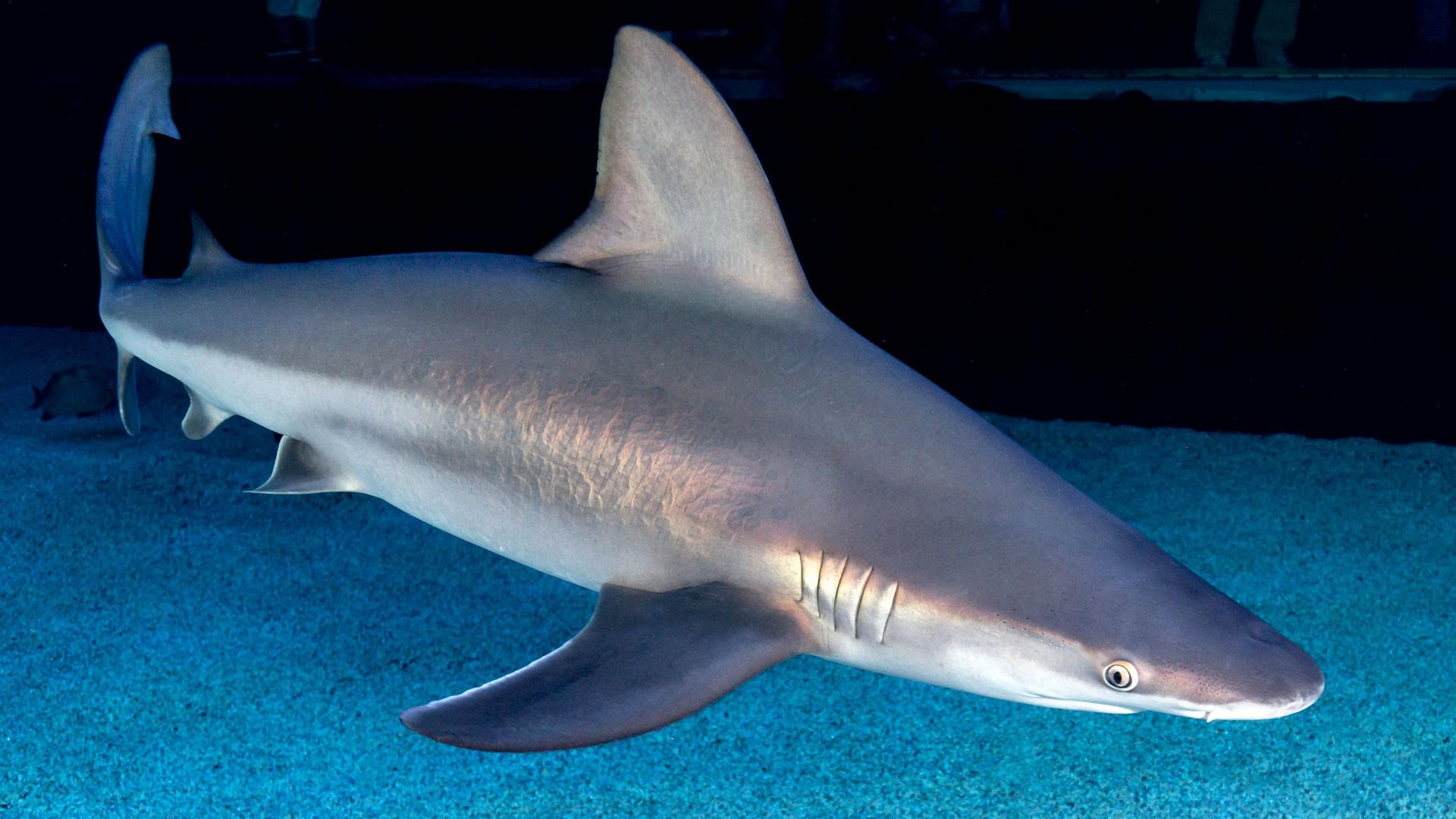 Tiburón Trozo (Gris)
