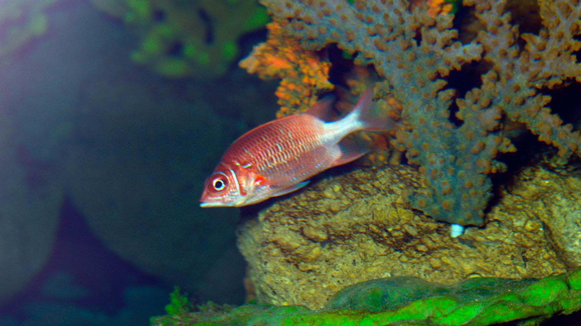 Silverspot squirrelfish