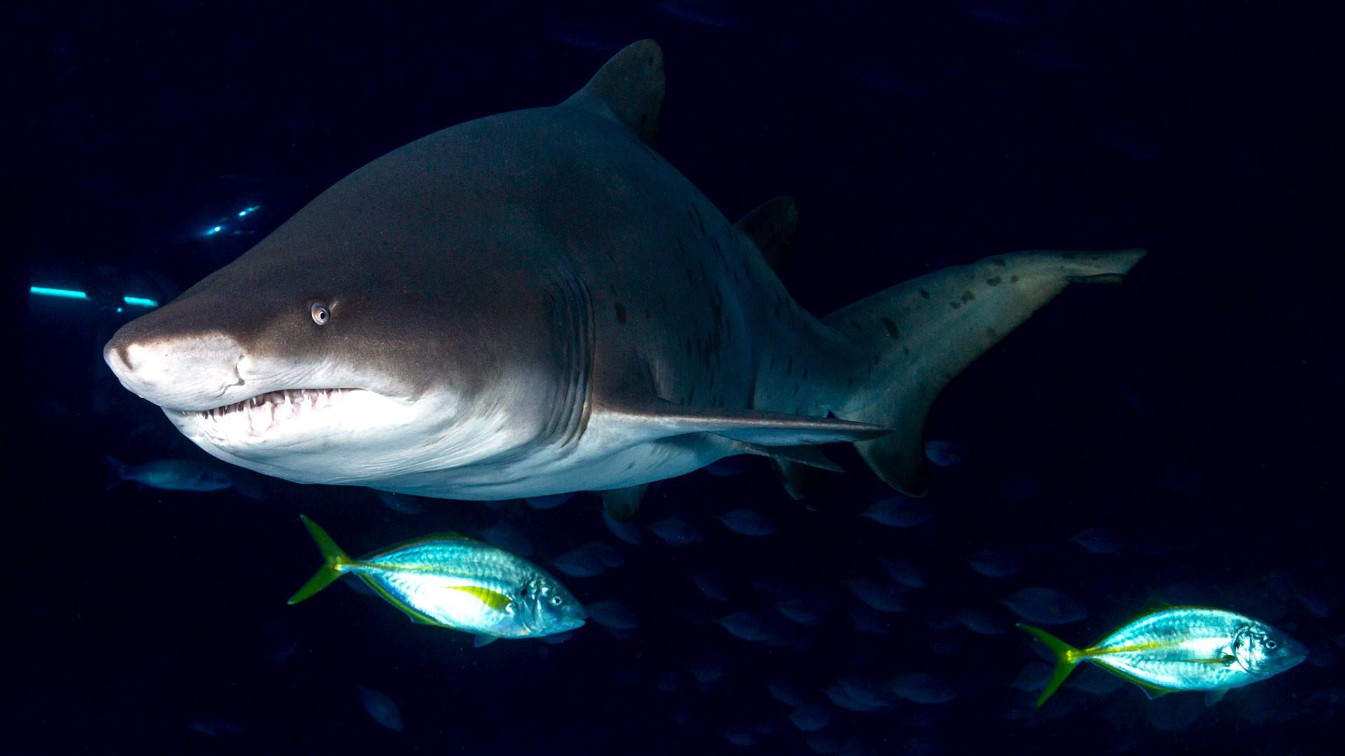 Tiburón Toro Bacota