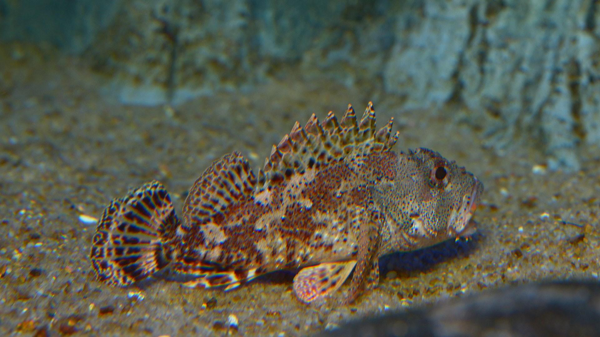 Black scorpionfish
