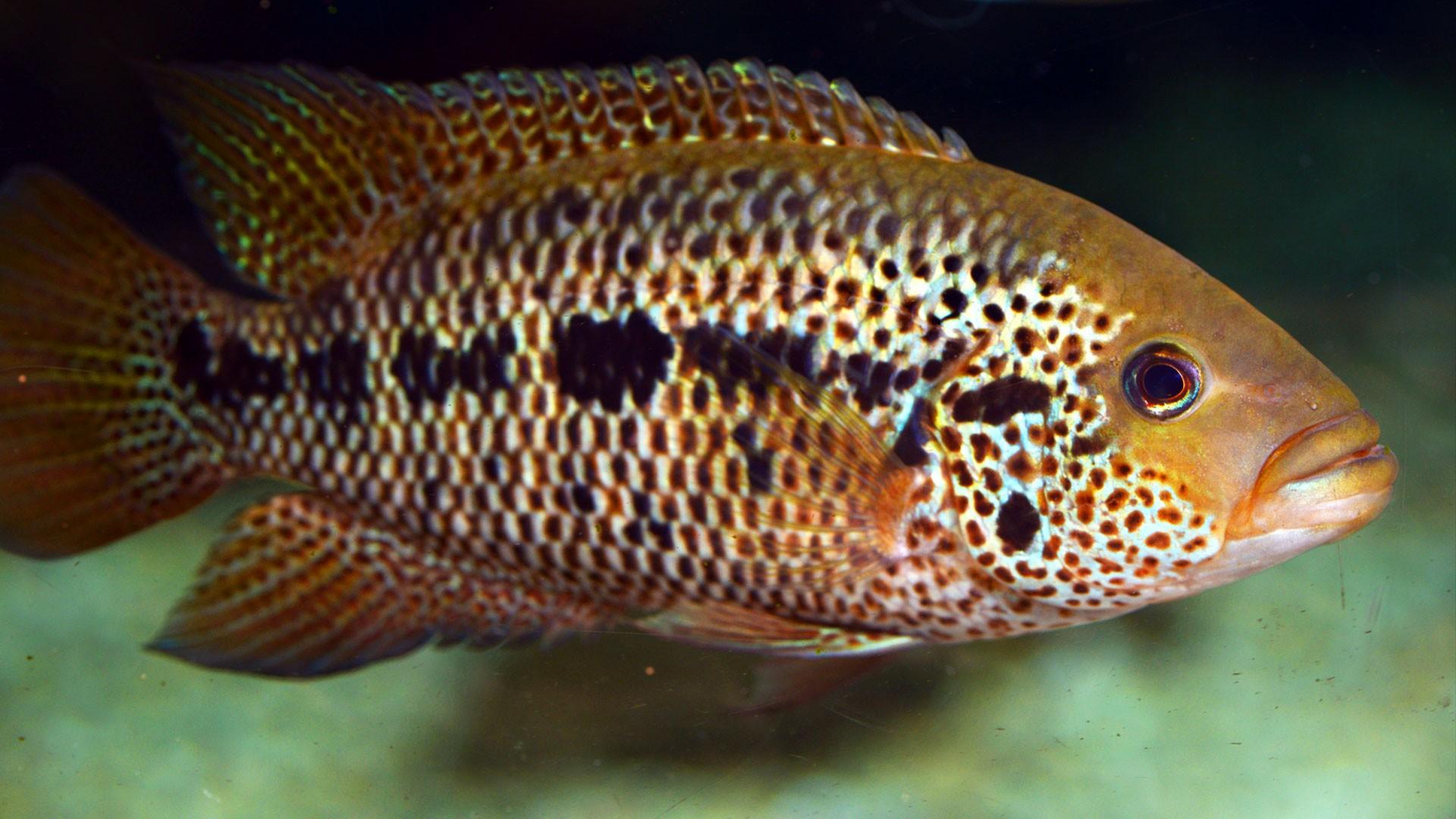 Mayan Cichlid