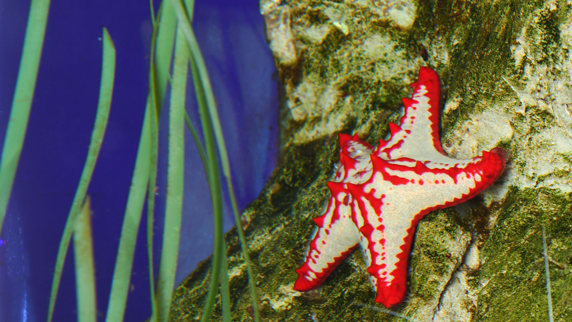 Estrella de Mar de Espinas Rojas
