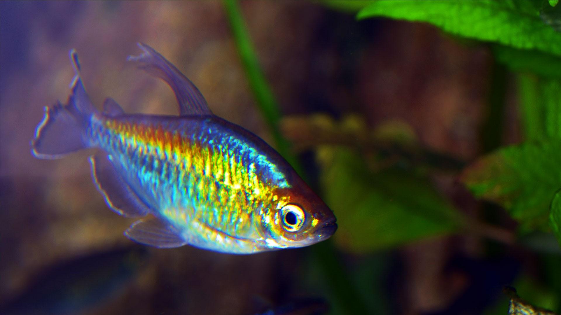Blauer Kongosalmer