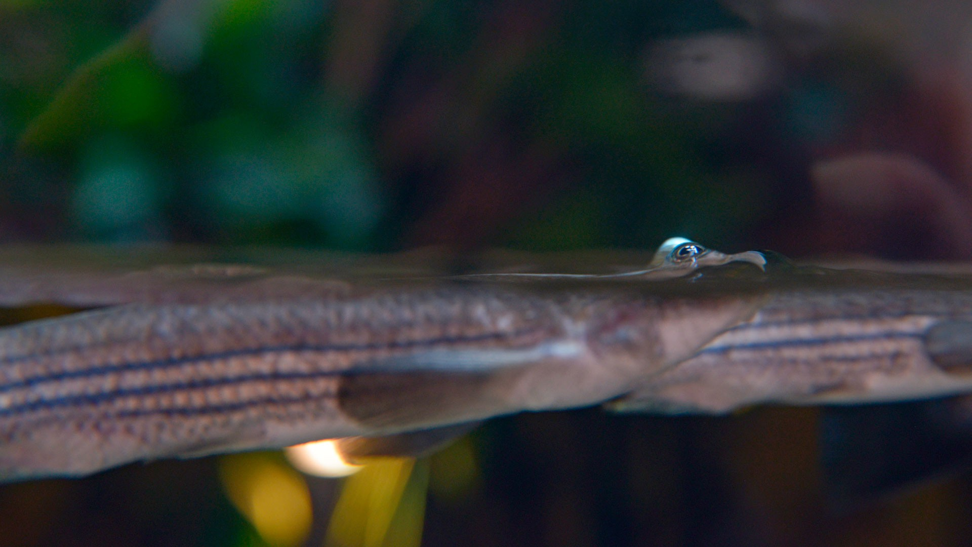 Four-Eyed Fish