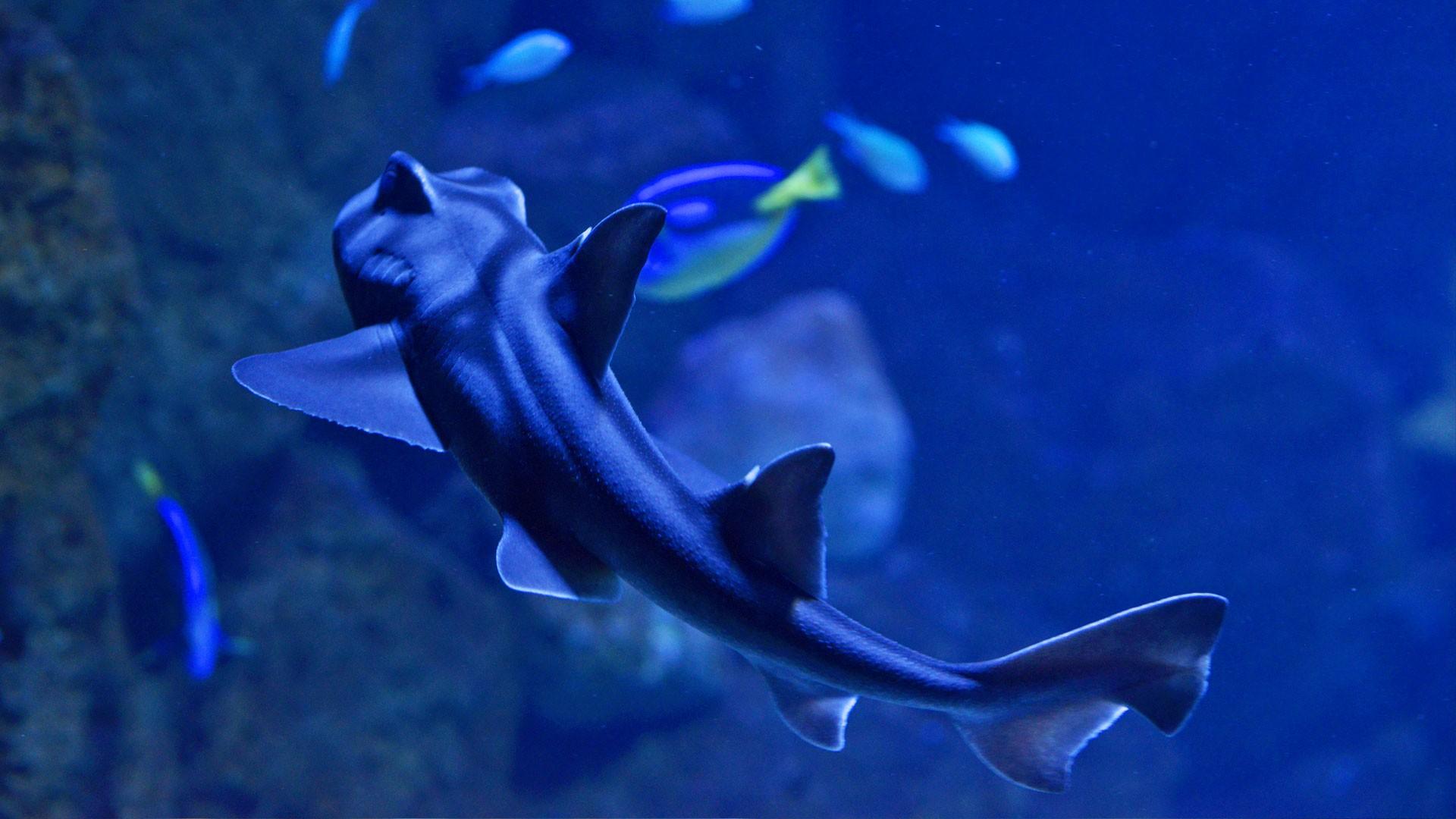Tiburon de Port Jackson