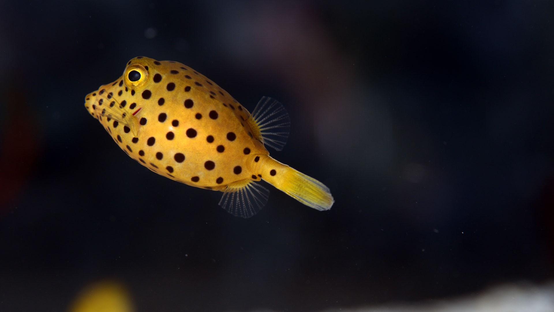 Gelber Kastenfisch
