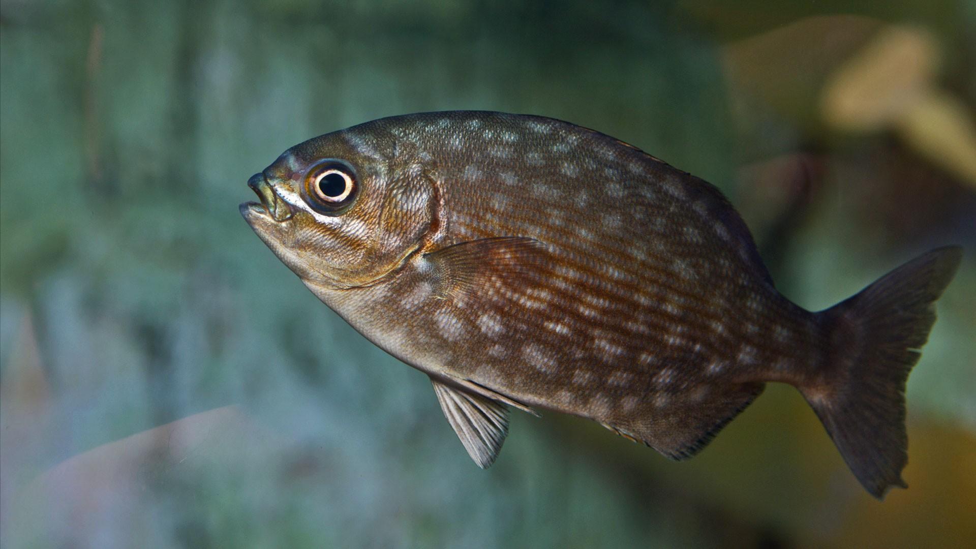 Bermuda Ruderfisch