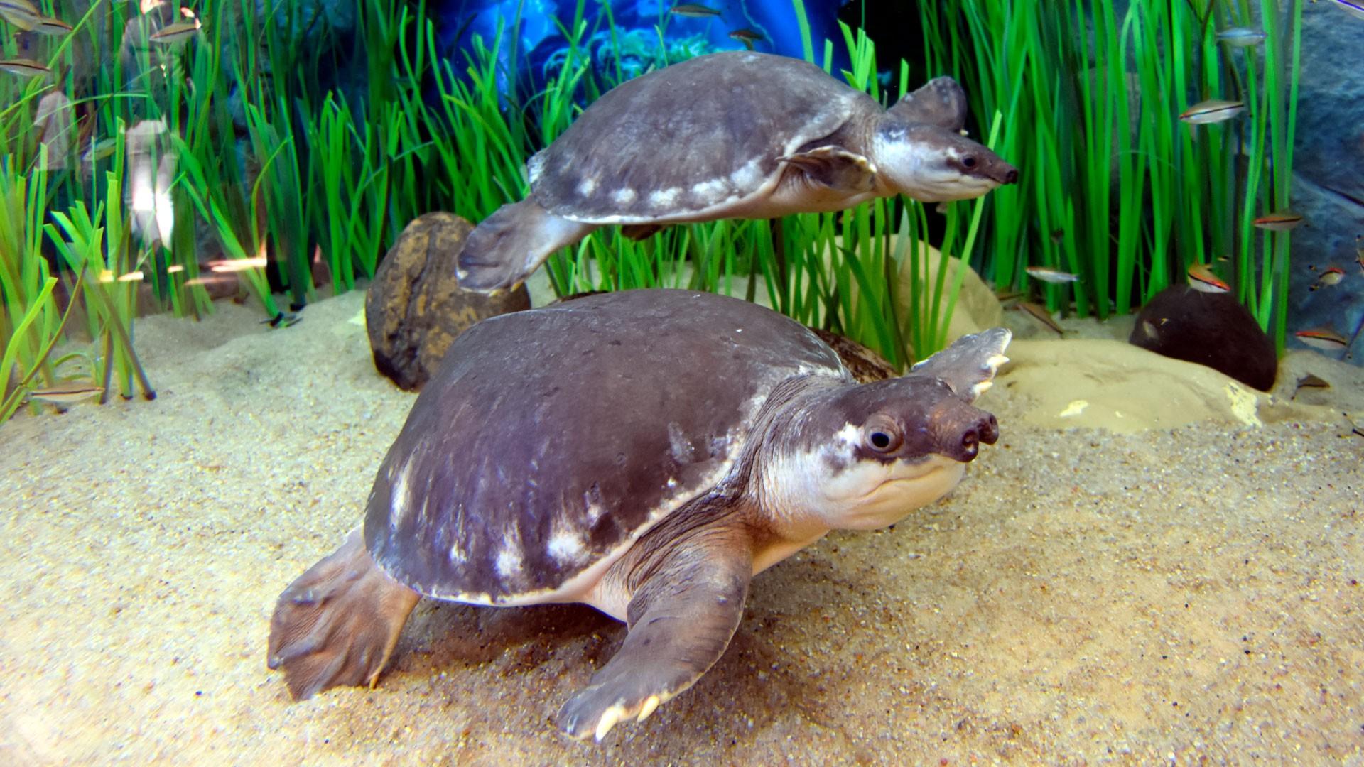 Pignose-Schildkröte