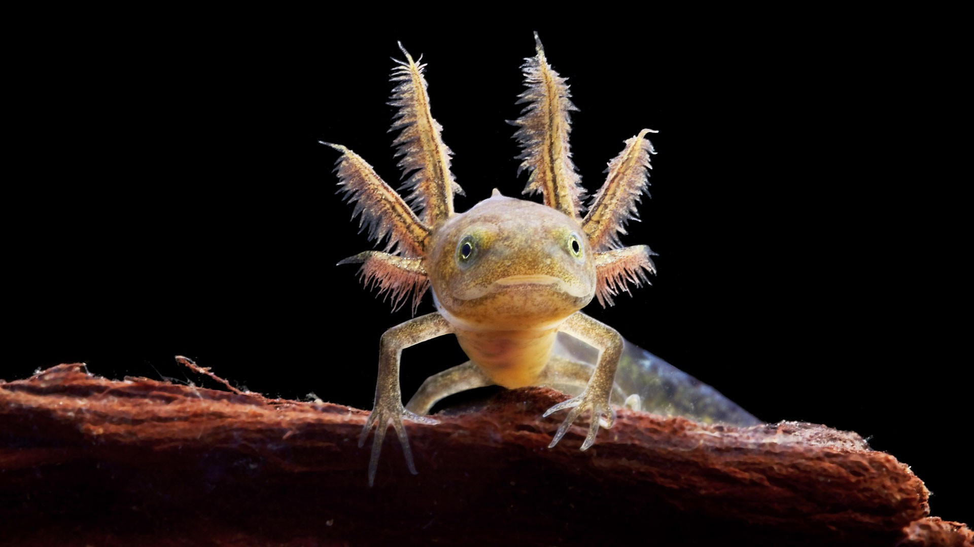 Mexican axolotl