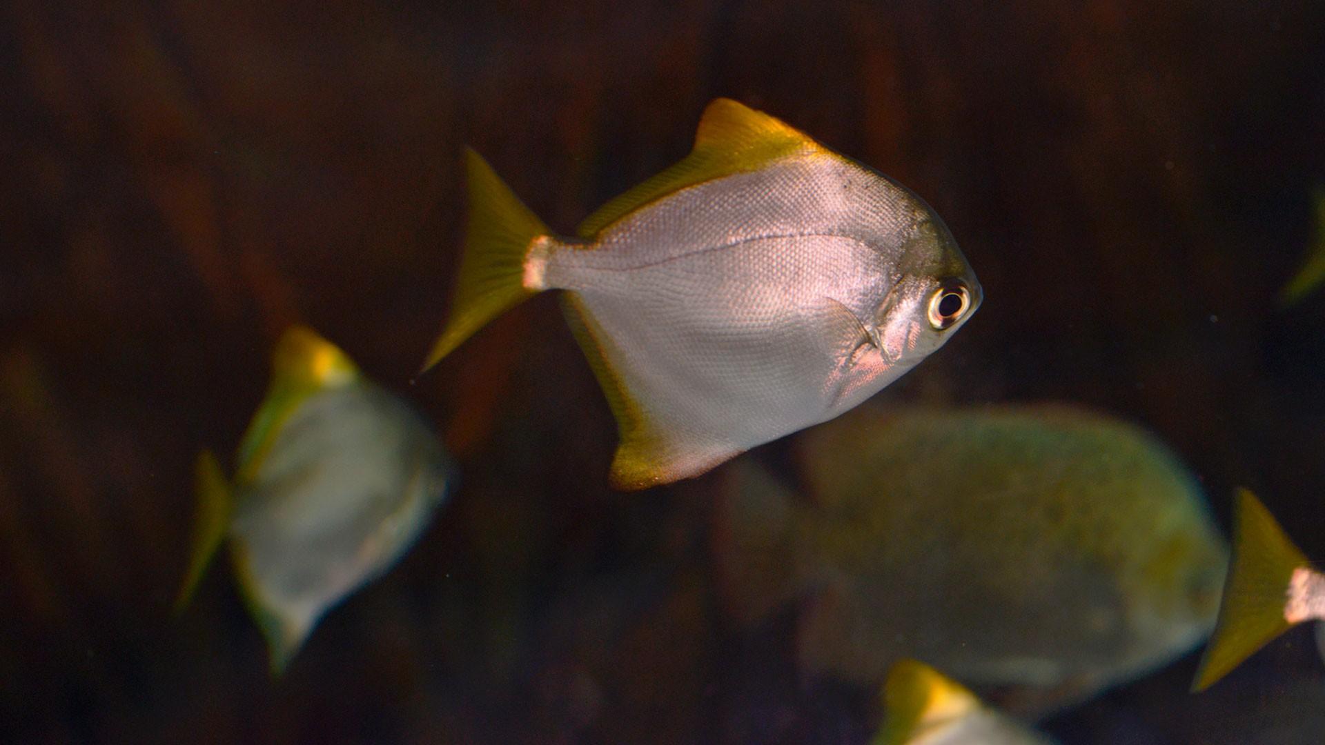 Silberflossenblatt