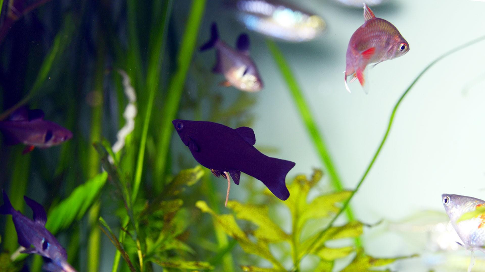 Molly Fish