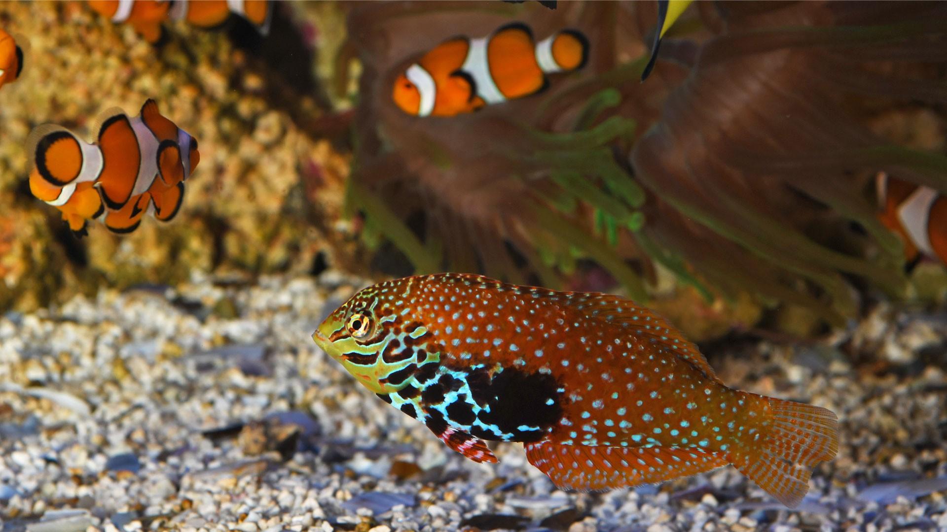 Tropical Razor Fish