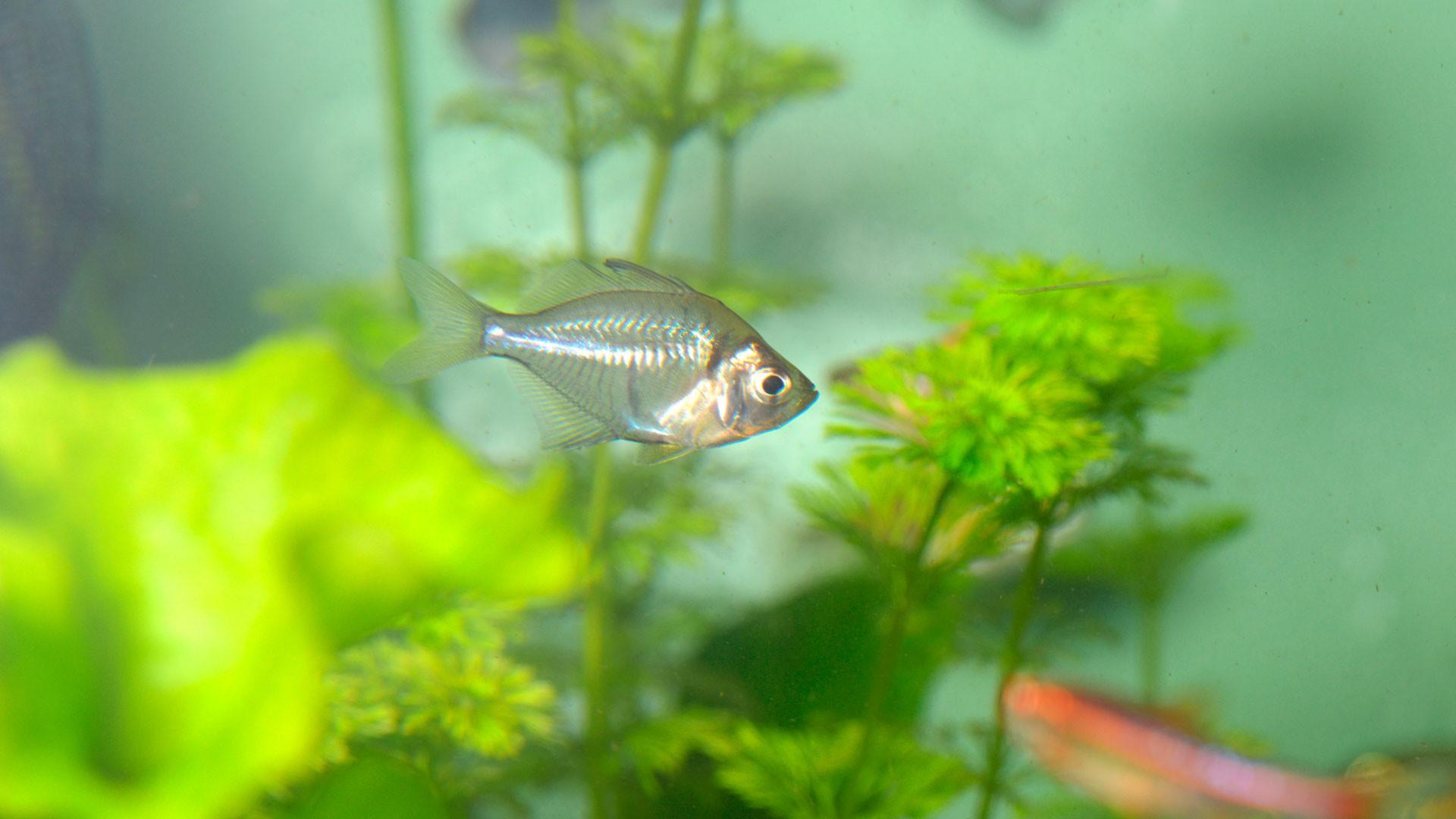 Siamese Glassfish