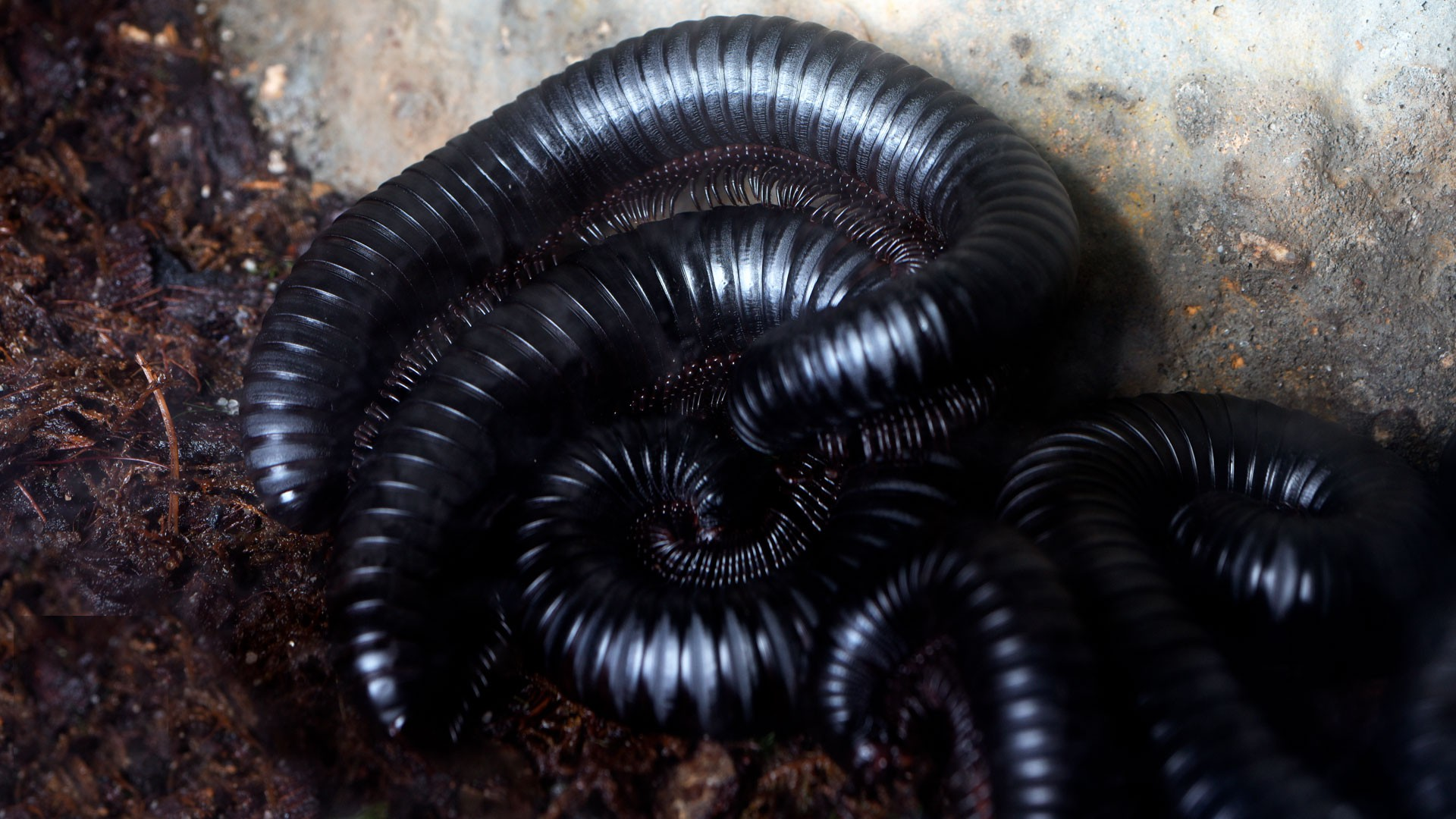 Giant African Millipede