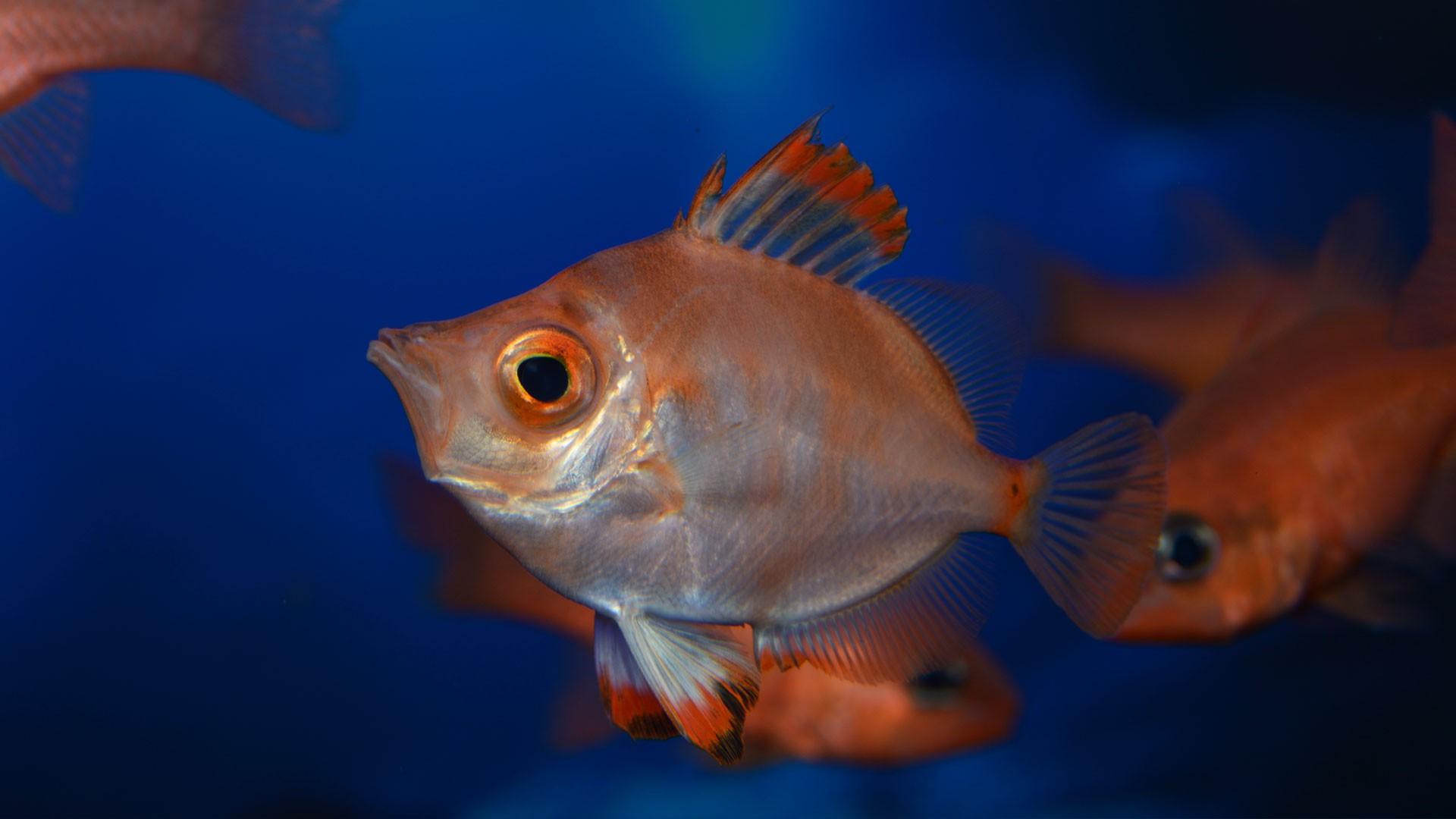 Boarfish