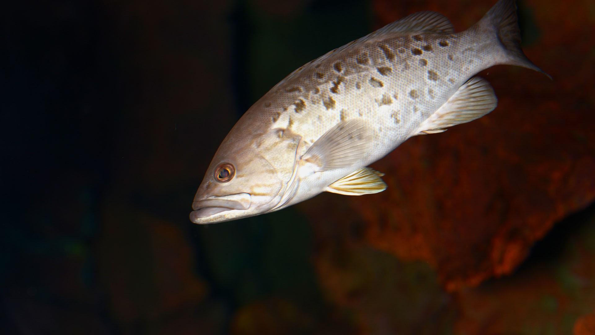 Island grouper