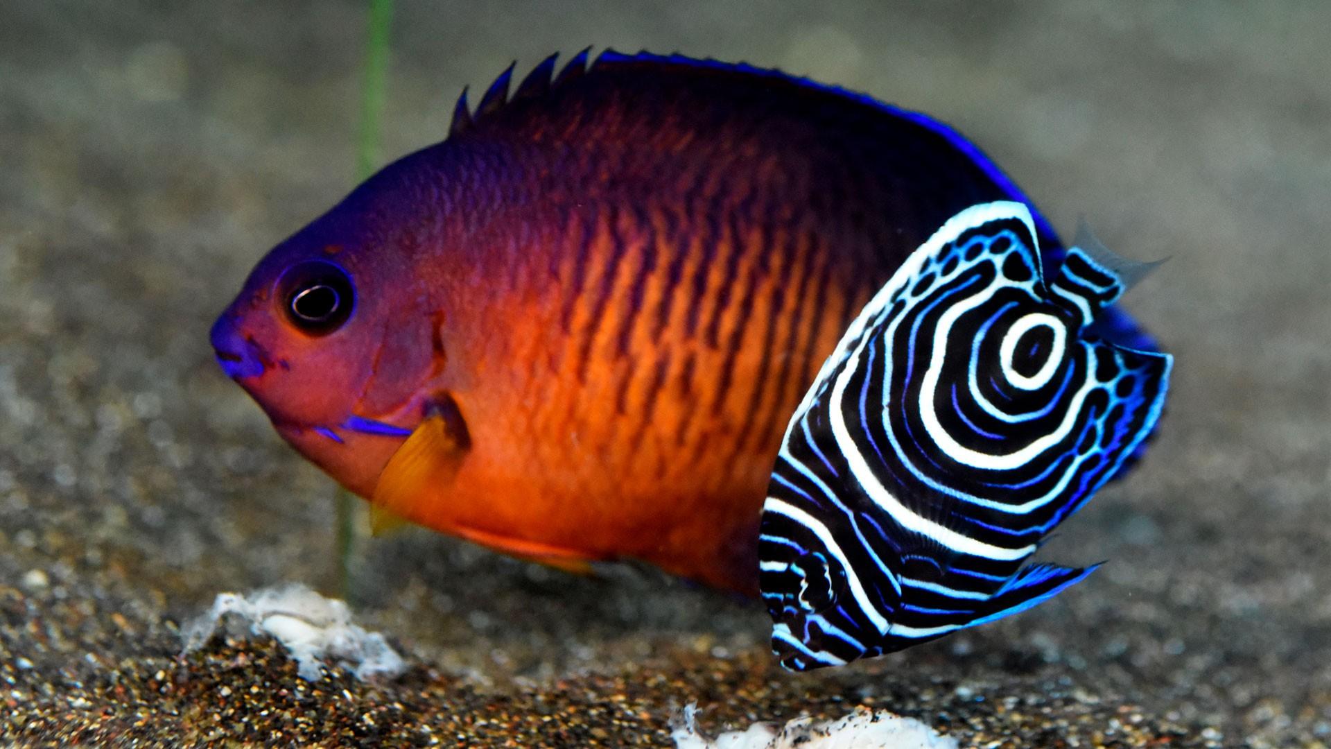 Orangenrücken-Zwergkaiserfisch