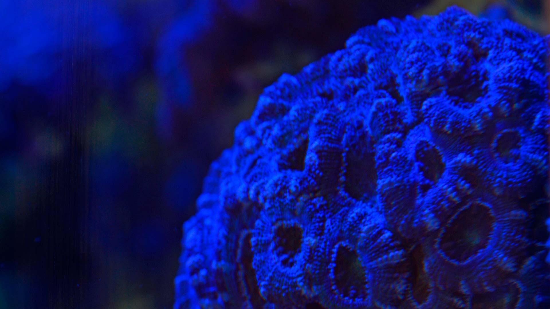 Blasto coral