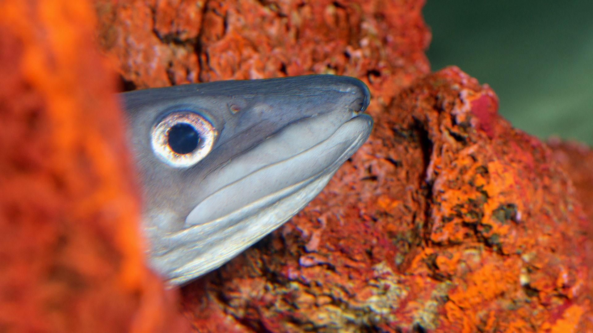 Conger eel