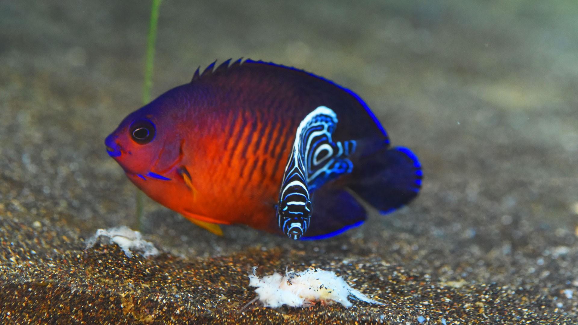 Dwarf Angelfish