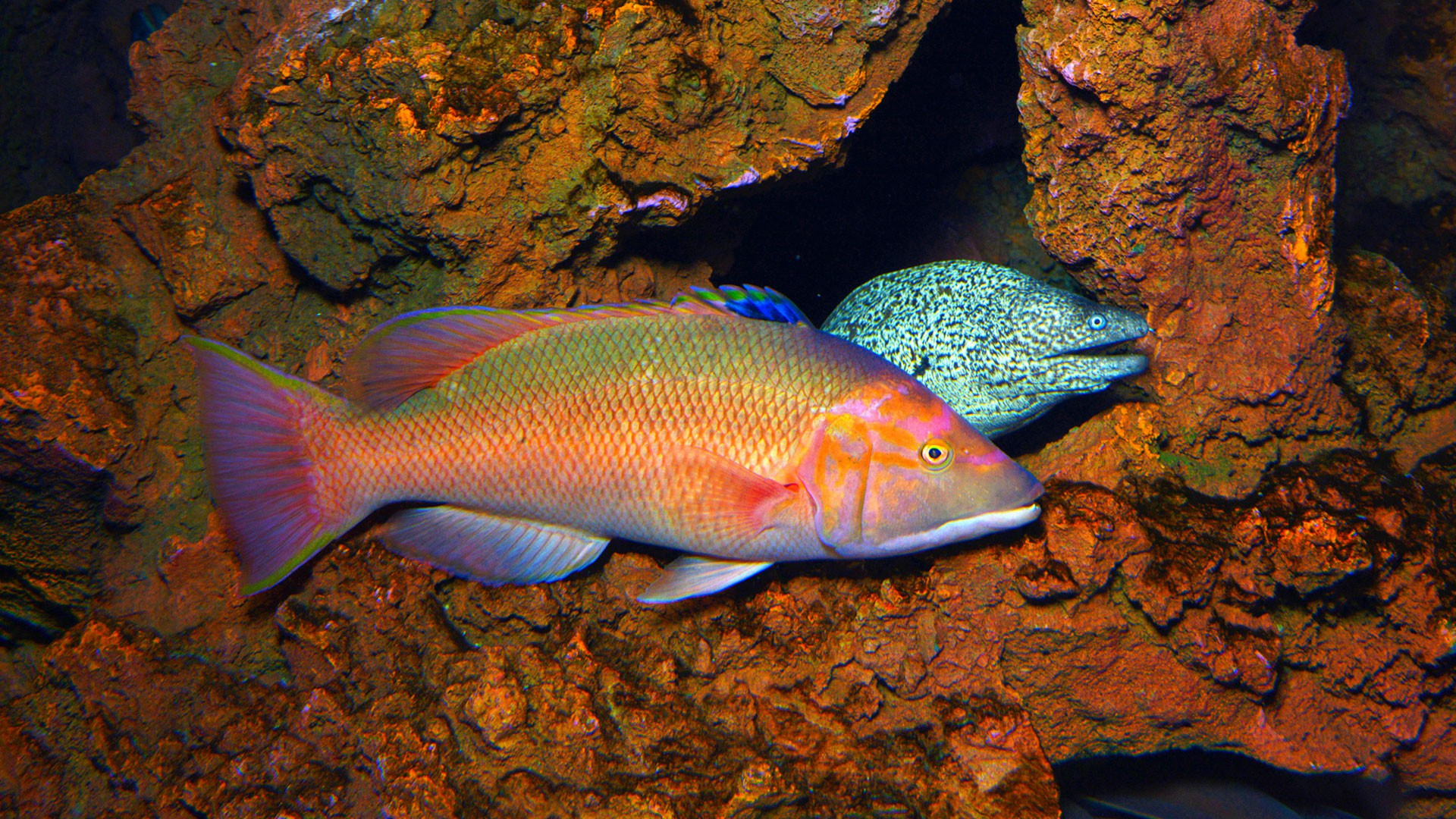 Barred hogfish
