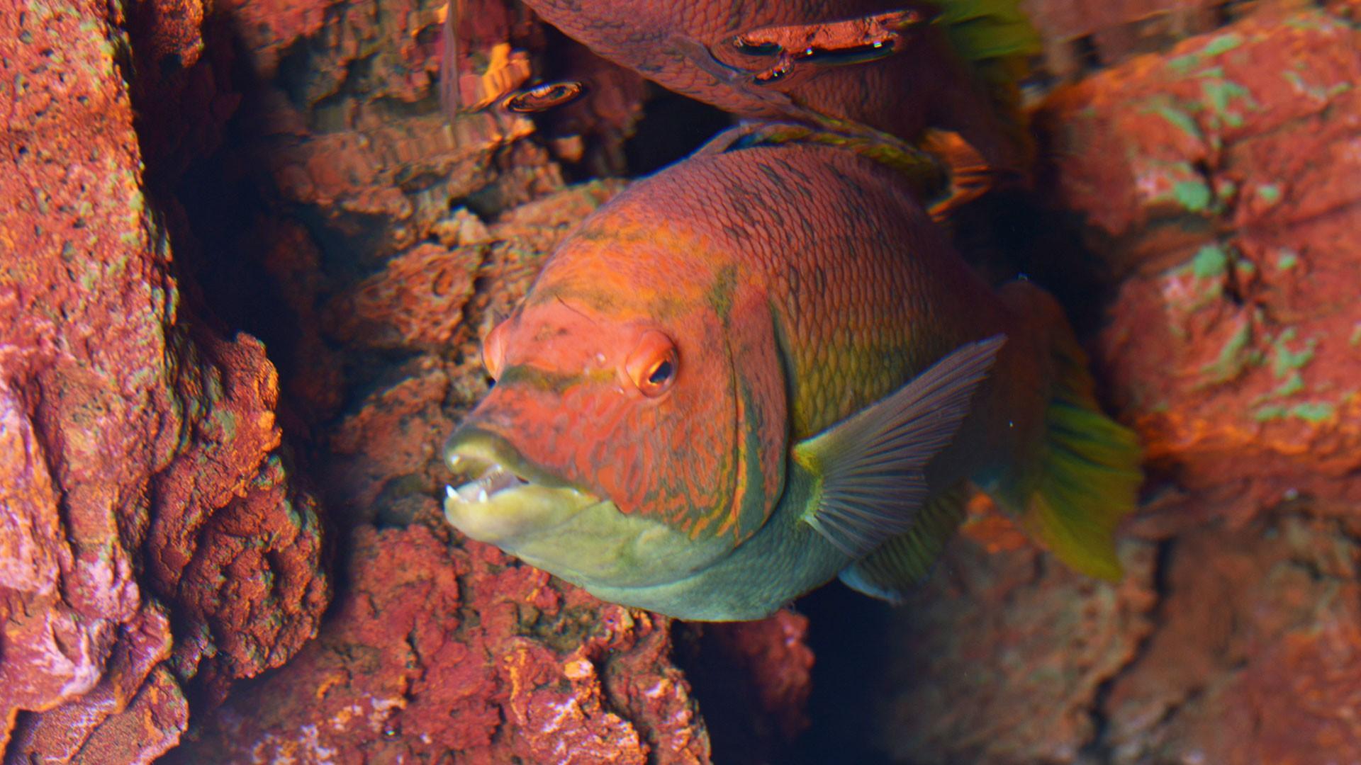 Barred hogfish