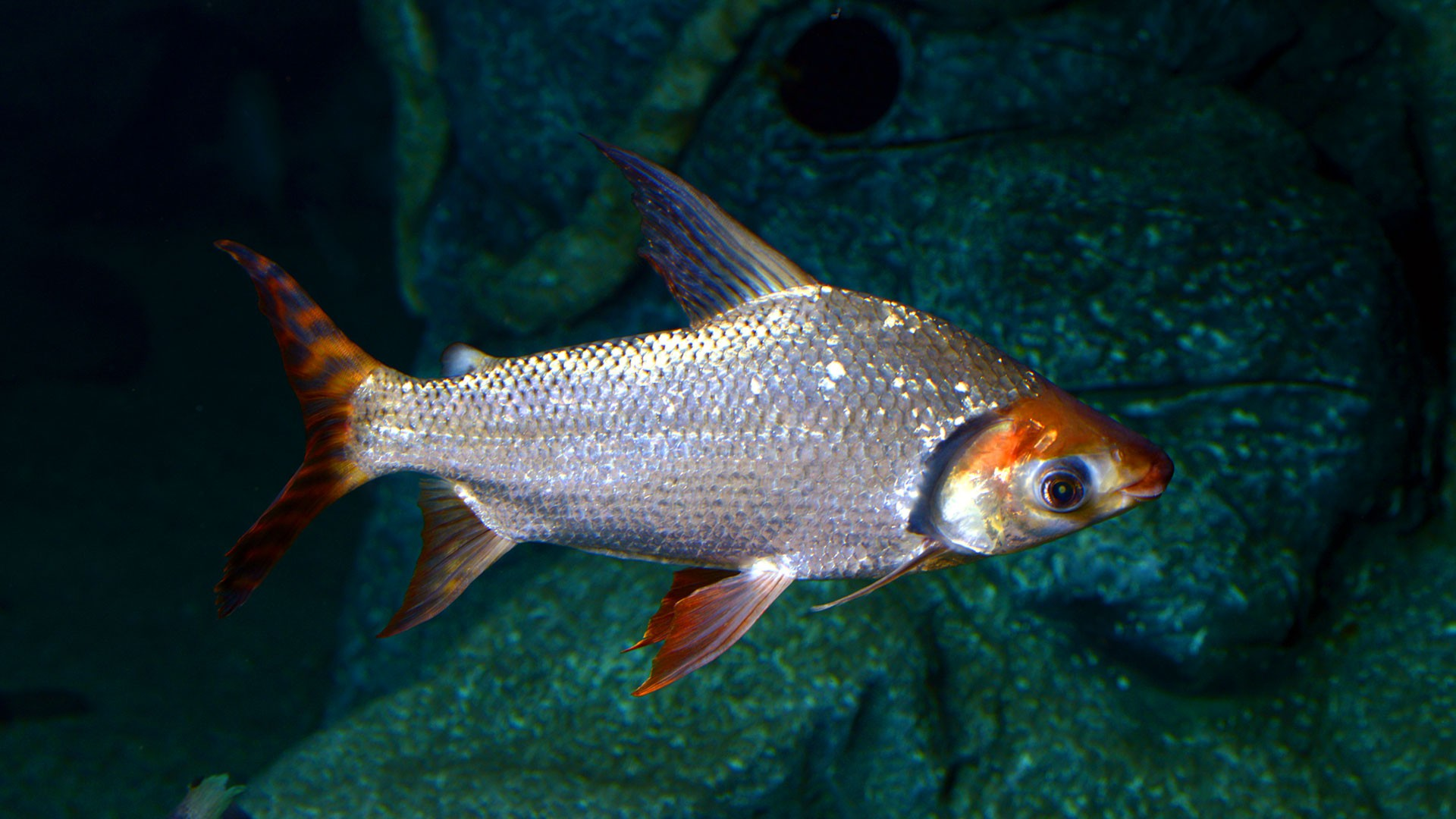 Semaprochilodus